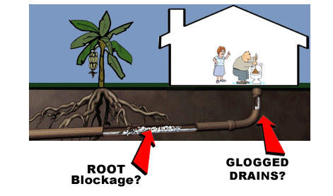 Drain Tree Root